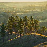 ponderosa pine trees backlit montana, conservation photography - montana wild prairie
