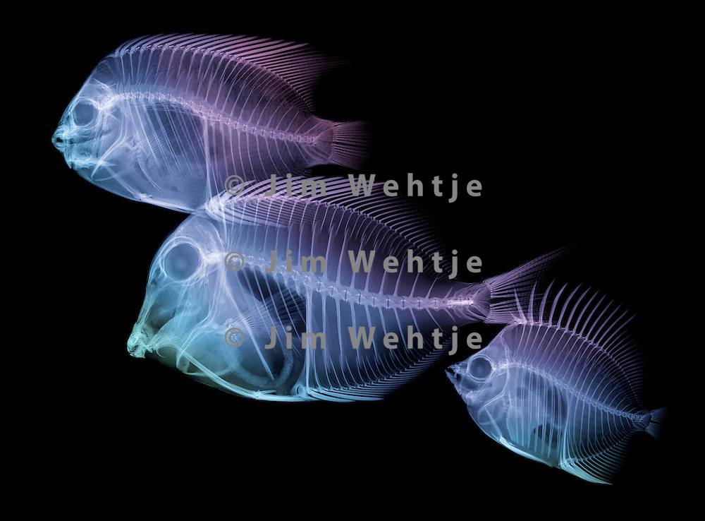 X-ray image of reef fish facing left (blue purple on black) by Jim Wehtje, specialist in x-ray art and design images.