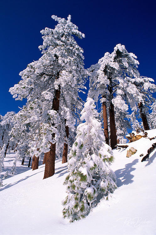 Rime ice and fresh powder on Ponderosa pines, Los Padres National Forest, California USA