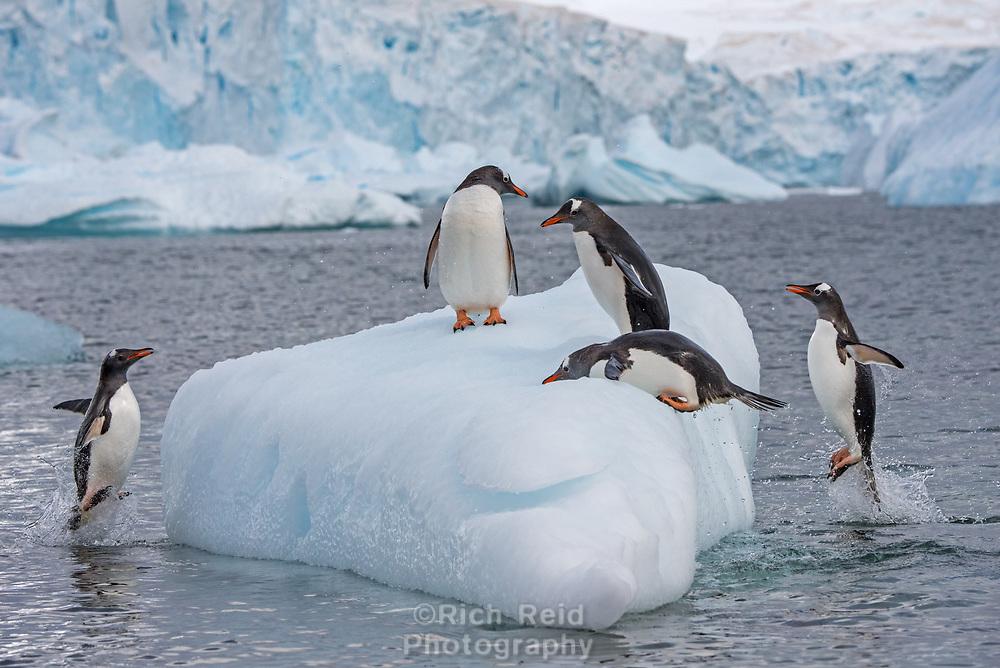 Gentoo penguins at Cuverville Island, Antarctica.