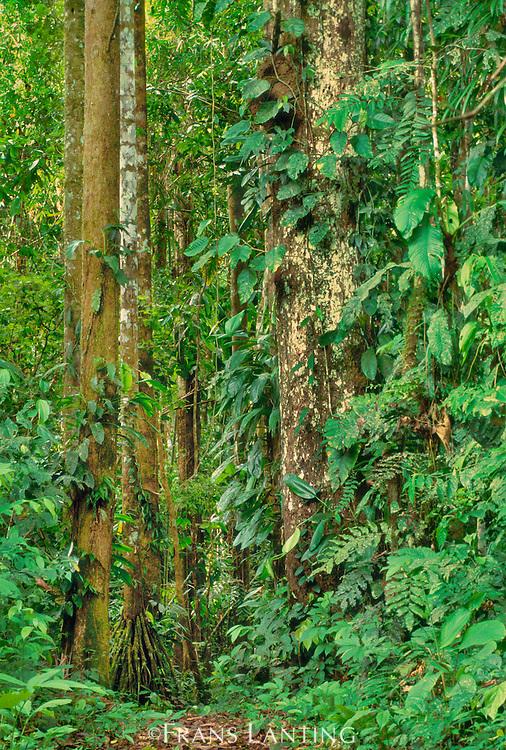 Lowland rainforest vegetation, Tambopata Reserve, Peru
