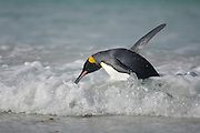 Der Übergang von der horizontalen Schwimmhaltung zum aufrechten Gehen fällt dem Königspinguin (Aptenodytes patagonicus) bei heranrollenden Wellen recht schwer. | Switching from the horizontal swimming position to the erected walk is a difficult task for the king penguin (Aptenodytes patagonicus) when the waves keep passing.