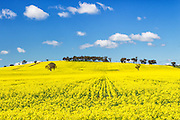 trees on hill in a field of flowering canola crop under blue sky and cumulus cloud at Woodstock, New South Wales, Australia. <br />