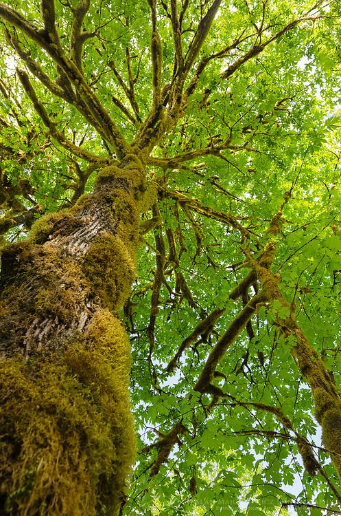 Big-Leaf Maple (Acer macrophyllum) Baker River, North Cascades National Park, Washington
