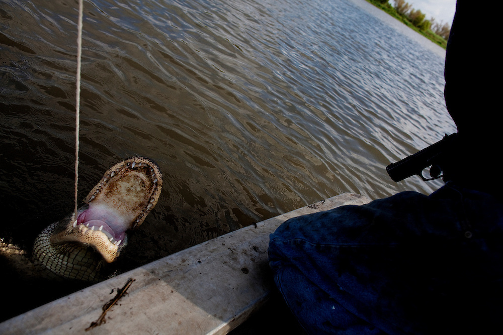 Julius Gaudet, 62, leans in for a kill shot as a caught alligator emerges from the water near Shell Island, Louisiana on Saturday, September 19, 2009.