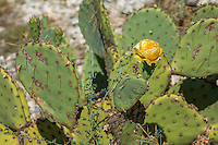 Engelmann's prickly pear is one of the most (if not the most) widespread of the prickly pear cacti. It is found in all of the American Southwestern States (except Colorado) and can even be found as far east as Louisiana, Mississippi and Missouri and is widespread throughout much of Mexico. Oddly enough , it has become an invasive species in Kenya! The sweet, juicy fruits are a traditional and still very important food source wildlife an for many tribes and nations of the Native Americans and is commonly used in Latin American cuisine.