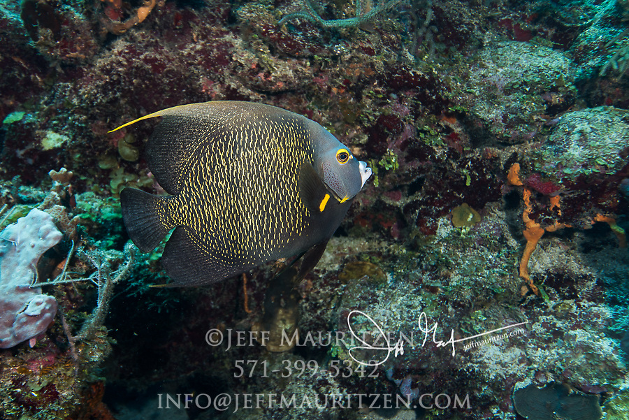 French angelfish swimming in the tropical Carribean waters off the coast of Belize.
