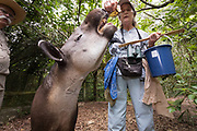 Feeding time for the Baird's Tapir (Tapirus bairdii) at the Belize Zoo.