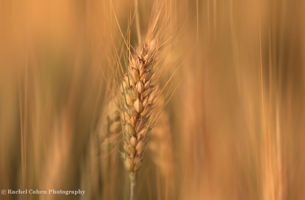 &quot;Sun Streaked Wheat&quot;<br />
