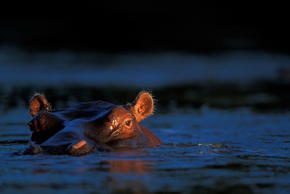 Africa, Kenya, Masai Mara Game Reserve, Hippopotamus (Hippopotamus amphibius) swimming in Mara River at sunset