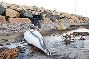 07/01/2014 Dolphin wash up on Grattan beach Salthill Galway attracting attention of locals and Brian Kavanagh from Galway. Photo:Andrew Downes