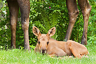 Less than a month old, a newborn moose calf sleeps below the long legs of her mother in the relative safety of a residential backyard in Eagle River in Southcentral Alaska.  Spring. Afternoon.