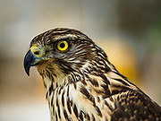 14 JUNE 2018 - SEOUL, SOUTH KOREA: A goshawk, the bird of prey used in Korean falconry.         PHOTO BY JACK KURTZ