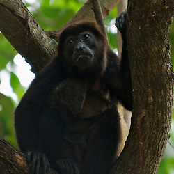 A Howler Monkey and baby perched in a tree in Costa Rica.