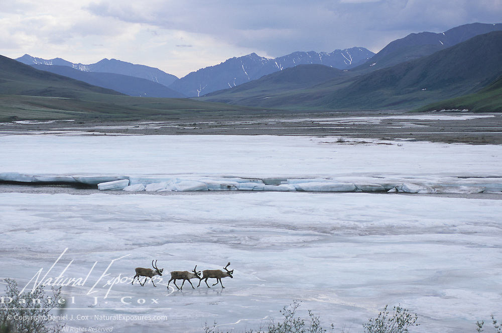 Barren Ground Caribou (Rangifer arcticus) porcupine herd. Arcitc National Wildlife Refuge, Alaska