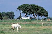 France - Provence - Bouche du Rhône  -Camargue - Cheval