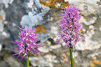 Naked Man Orchid (Orchis italica) Spili, Crete