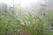 Eupatorium maculatum (Atropurpureum Group) 'Riesenschirm', Persicaria amplexicaulis 'Fat Domino', Verbena bonariensis, Pennisetum alopecuroides 'Hameln', IGPOTY