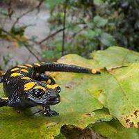A Near-eastern Fire Salamander, Salamandra infraimmaculata, in Tel Dan Reserve.