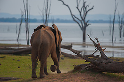 An elephant at the end of the dry season, Lake Kariba, ZImbabwe. During this time of year, there is very little food left and some of the weaker elephants do not survive