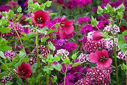 Malope trifida 'Vulcan' with Dianthus barbatus 'Electron Auricula-eyed Mixed' (Sweet William)