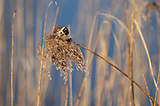Reed bunting against the blue background of water and the yellows of phragmites reeds.