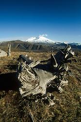 Deformed Tree and Mt. St. Helens, Mt. St. Helens National Volcanic Monument, Washington, US