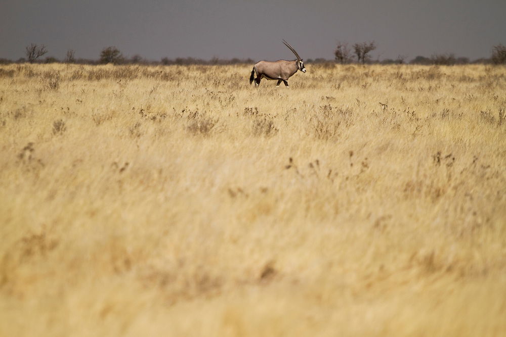 Orix grazing at Etosha National Park, in Namibia, Africa.