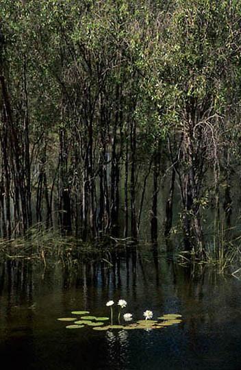 Kakadu National Park, Mamukala Wetlands. Lilypads. Australia.