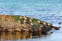 Norway, Sola. Purple sandpiper.