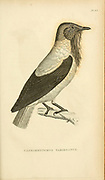 Casmarhynchos variegatus from volume XIII (Aves) Part 2, of 'General Zoology or Systematic Natural History' by British naturalist George Shaw (1751-1813). Griffith, Mrs., engraver. Heath, Charles, 1785-1848, engraver. Stephens, James Francis, 1792-1853 Published in London in 1825 by G. Kearsley