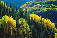 Aspen near Durango, Colorado