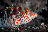 Cirrhitus splendens (Splendid hawkfish)