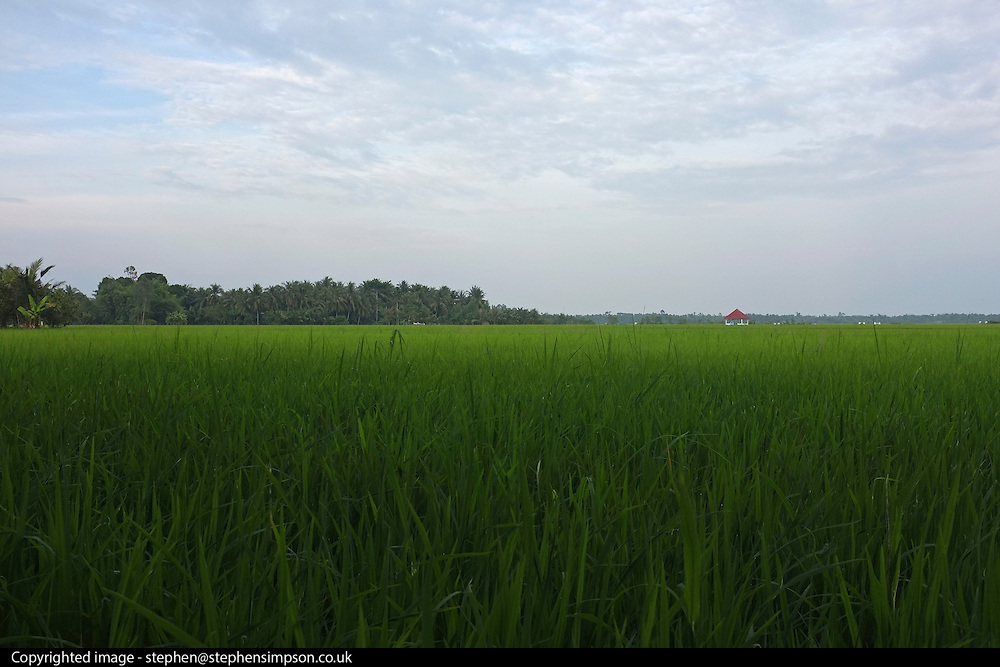 © Licensed to London News Pictures. 08/01/2012. A green rice paddy field along the Bassac River in the Meekong Delta, Vietnam. Photo credit : Stephen Simpson/LNP