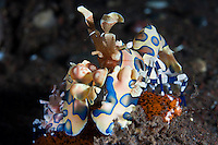 Harlequin shrimps, Seraya, Bali, Indonesia. Seraya is located on Bali's NE coast and has become very popular with divers and photographers searching for unusual species.  The signature site, 'Seraya Secrets' has a barren sand floor with small patches of sponge and other encrusting life, and rocks in the shallows. Bali is a very popular holiday destination for divers and offers a wide variety of different types of diving, from reefs and wrecks to mucks sites such as Puri Jati and Gilimanuk.