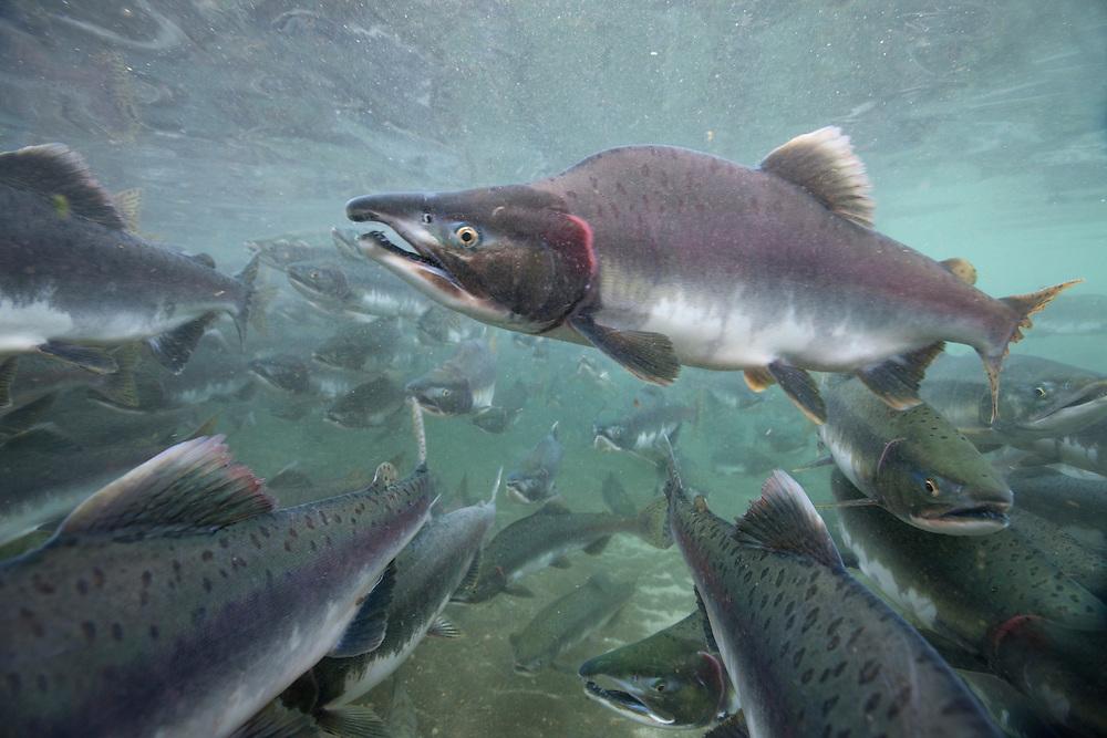 USA, Alaska, Katmai National Park, Underwater view of spawning Chum Salmon (Oncorhynchus keta) in shallow stream by Kinak Bay