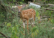 A whitetail fawn stands at the edge of the forest with metal trash behind it, calmly eating leaves.
