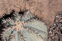 Devil's Head Cactus (Echinocactus horizonthalonius) at Big Bend Ranch State Park, Texas