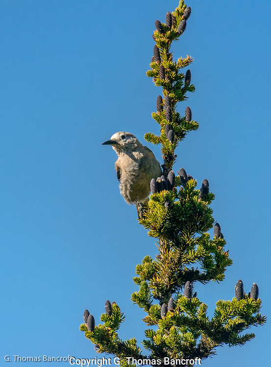 A Clark's Nutcracker surveys the surrounding area along Sourdough Trail.