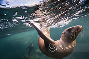 California sea lions swim in the waters off the coast of Los Islotes, Gulf of California, Baja California Sur, Mexico.