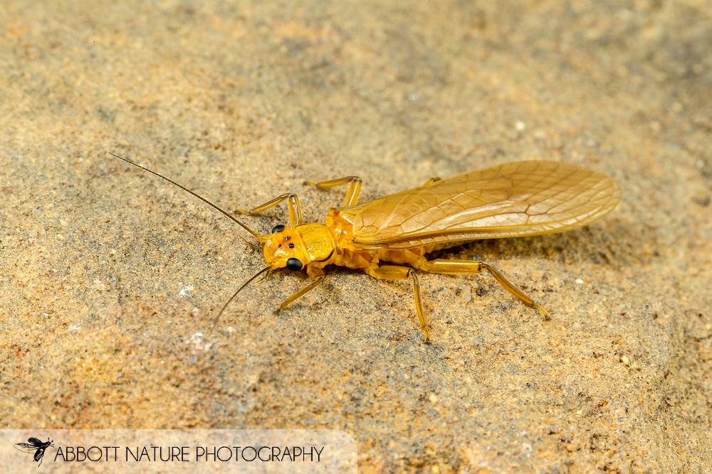 Stonefly (Eccoptura xanthenes)<br /> United States: Alabama: Tuscaloosa Co.<br /> Tulip Tree Springs off Echola Rd.; Elrod<br /> 24-Jun-2016<br /> J.C. Abbott #2837