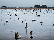 Stumps from trees now gone are visible in open water creeping through areas surrounding Blackwater National Wildlife Refuge in Dorchester County, MD, on Dec. 30, 2017.