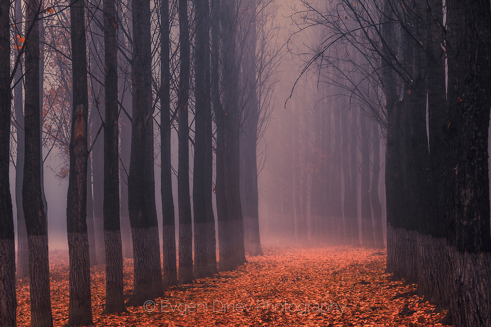 Misty poplar forest in autumn