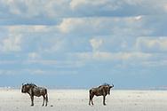 Streifengnu (Connochaetes taurinus) bei der Sowa Pan in der Nähe von Sowa