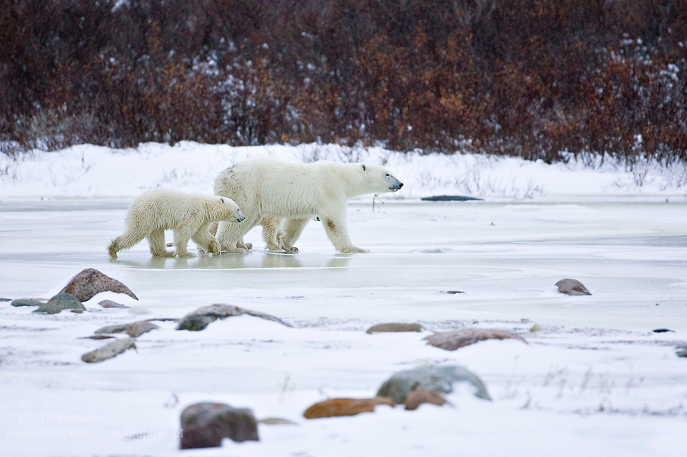 A mother polar bear and cub walk and slide across slippery ice in the high Arctic in Canada