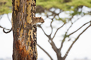 An african leopard perches in a tree in the Serengeti as it scans the surrounding area for prey.