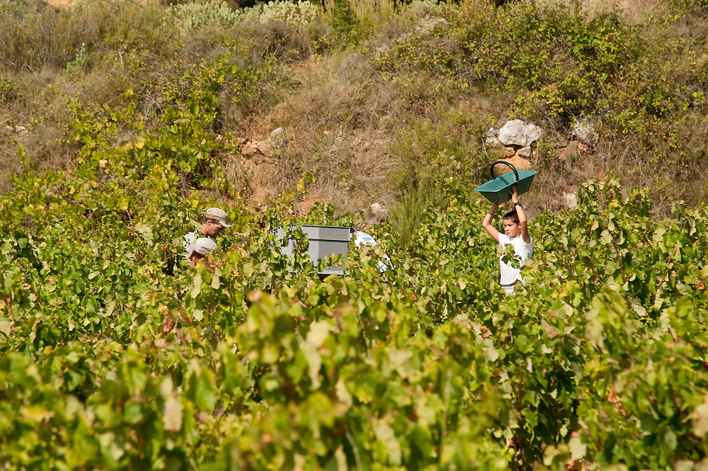 At Vineyard Le loup blanc in the Minervois area, south of France, the grape are collect manualy