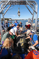 Manatee Health Assessments, Kings Bay, Crystal River, Citrus County, Florida USA. November 10, 2011 am. Researchers from several federal and state agencies and other partners work together to gather data during the manatee capture and health assessments. An arch is used for weight and grease pencil marks have been applied showing a  field ID number assigned to the animal and its sex. A Manatee Rescue boat is in the background. The manatee is only out of the water for a pre-determined safe period of time.