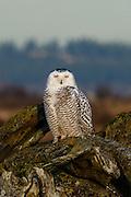 Snowy Owl at Boundary Bay Regional Park, Delta, BC
