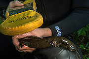 Eastern Hellbender (Cryptobranchus alleganiensis alleganiensis) reading PIT tag<br /> CAPTIVE<br /> Hiwassee River, Cherokee National Forest<br /> Tennessee<br /> USA<br /> HABITAT & RANGE: Clear, fast-flowing streams and rivers of Susquehanna River drainage in southern New York and Pennsylvania, and large portions Missouri, Ohio, and Mississippi River drainages from western Pennsylvania, southern Ohio, extreme southern Indiana, most of West Virginia, Kentucky, and Tennessee, northern Alabama and Georgia, western North Carolina and Virginia.